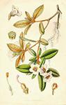 Horto White flower