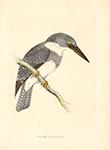 F.O. Morris Belted Kingfisher Litho