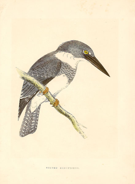 morrisbeltedkingfisher