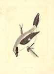 F.O. Morris Great Shrike