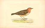 F.O. Morris Red Throated Pipit