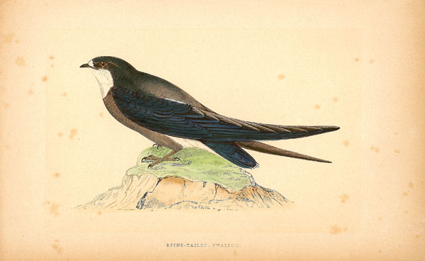 F.O. Morris Spine Tailed Swallow