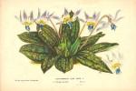 Horto-Erythronium