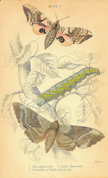 Eyed Hawk-moth Plate 3