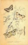 Gooseberry Moth Plate 28