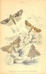 Herald Moth Plate 24