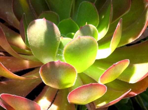 succulent1131