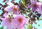 Tree Dahlia 1
