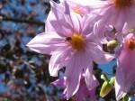 Tree dahlia with bee